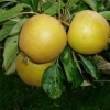 Picture of Apple Merton Russet MM106