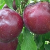 Picture of Plum Dble Billington/Black Doris