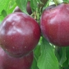 Picture of Plum Dble Billington/Sultan