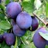 Picture of Plum Plumcot Spring Satin