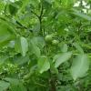 Picture of Walnut Meyric