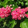 Picture of Crataegus Pauls Scarlet