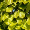 Picture of Fagus Dawyck Gold