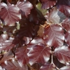 Picture of Fagus Purpurea