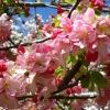 Picture of Malus Crabapple Floribunda