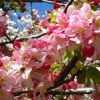 Picture of Malus Crabapple Floribunda H/W 1.8