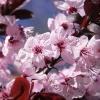 Picture of Prunus Cerasifera Nigra