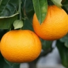 Picture of Orange Harwood Late
