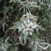 Picture of Pyrus Salicifolia Pendula H/W 1.5