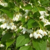 Picture of Styrax Japonica