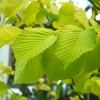 Picture of Ulmus Lutescens