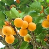 Picture of Apricot Garden Annie Dwf
