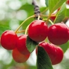 Picture of Cherry Montmorency