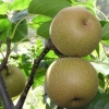 Picture of Pear Dble Nashi Hosui/Nijisseiki