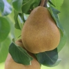 Picture of Pear Taylors Gold BA29