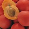 Picture of Plum Plumcot