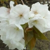 Picture of Prunus Tai Haku H/W 1.5m