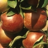 Picture of Apple Ballerina Waltz M793