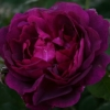 Picture of Chianti-Rose