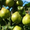 Picture of Pear Garden Belle Dwarf