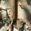 Picture of Betula Papyrifera