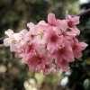 Picture of Prunus Pink Cloud H/W 1.5