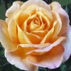 Picture of Scented Memory Std 80cm-Rose