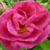 Picture of Gallica Officinalis-Rose