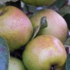 Picture of Apple Sturmer MM106