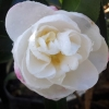 Picture of Camellia Paradise Helen Std
