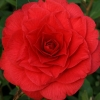 Picture of Camellia Red Red Rose
