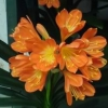 Picture of Clivia Fire Glow