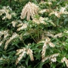 Picture of Pieris White Cap