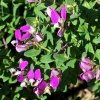 Picture of Polygala Petite Butterfly