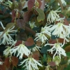 Picture of Loropetalum Iceberry
