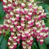 Picture of Pieris Valley Valentine