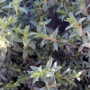 Picture of Pimelea Silver Ghost