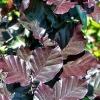 Picture of Fagus Dawyck Purple