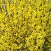 Picture of Forsythia Karl Sax