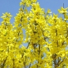 Picture of Forsythia Lynwood Gold