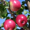 Picture of Apple Liberty Espalier