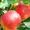 Picture of Apple Splendour M27
