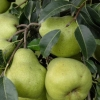 Picture of Pear Tple Packhams/Comice/W Nellis