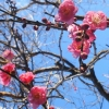 Picture of Prunus Mume The Geisha