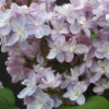 Picture of Syringa Belle de Nancy