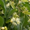 Picture of Tilia Cordata