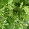 Picture of Tilia Europea