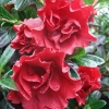 Picture of Azalea Crimson Delight