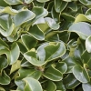 Picture of Ligustrum Rotundifolium