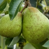 Picture of Pear William Bon Chretien Dwf